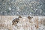 Kängurus im Schnee