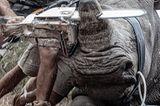 Nashorn wird enthornt