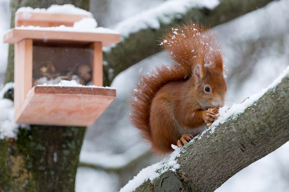 Eichhörnchen vor einem Futterkasten
