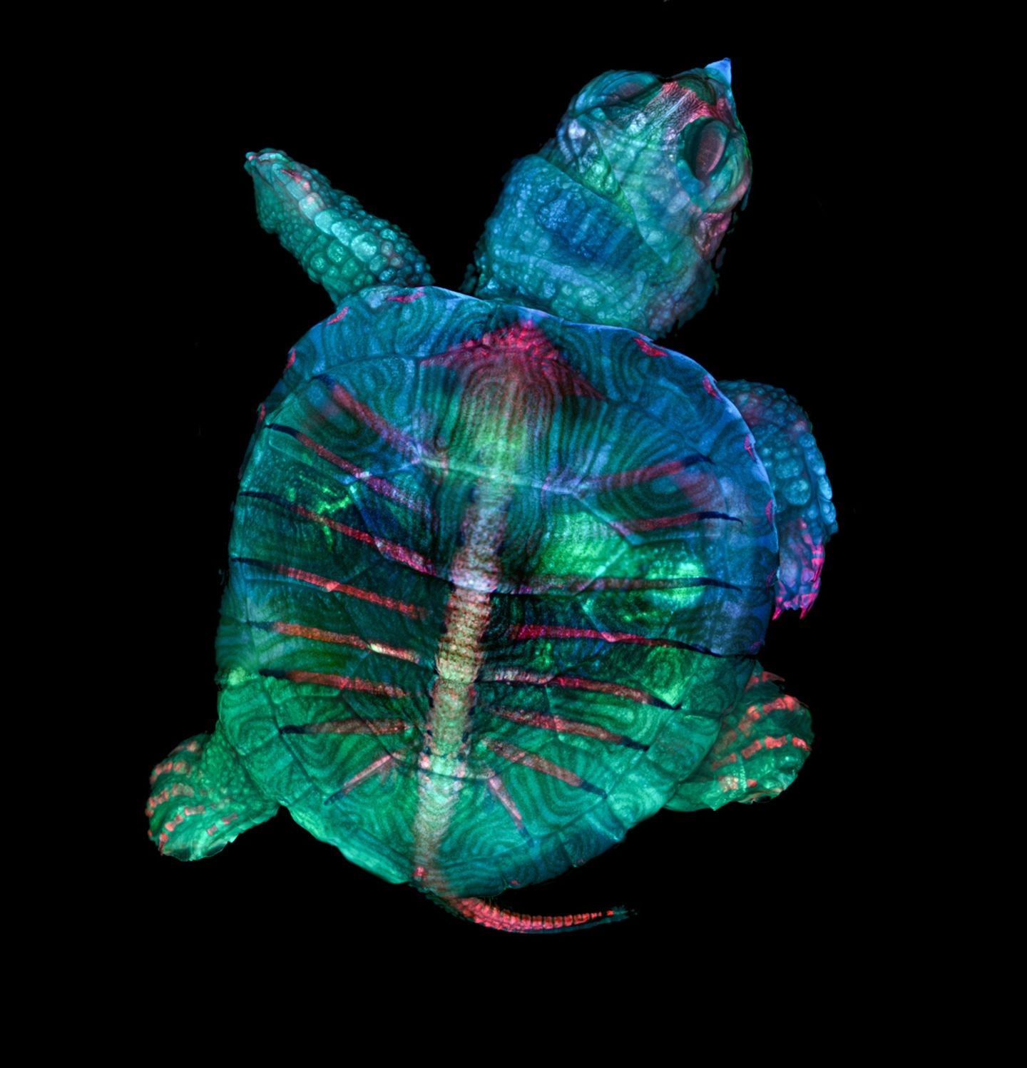 Fluoreszierender Schildkrötenembryo