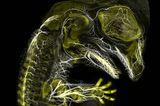 Alligatorembryo