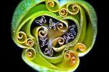 Querschnitt einer Tulpenknospe