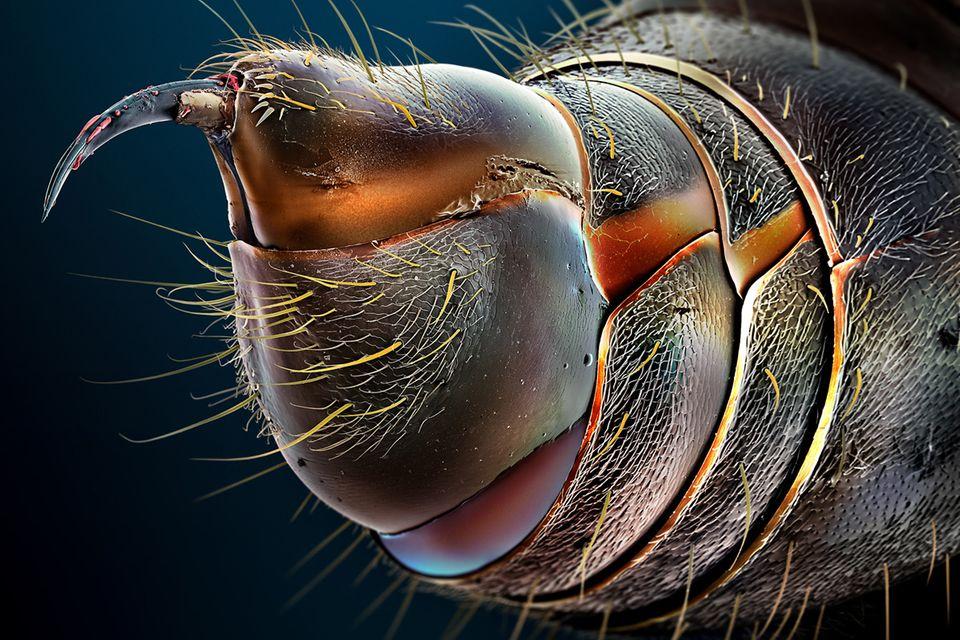 Giftstachel der Schnappkiefer-Ameise