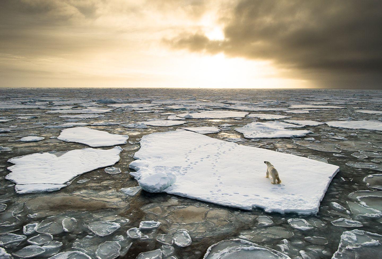 Eisbär auf Eischolle
