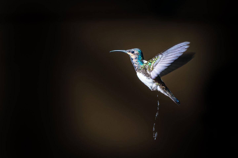 Kolibri beim Pinkeln