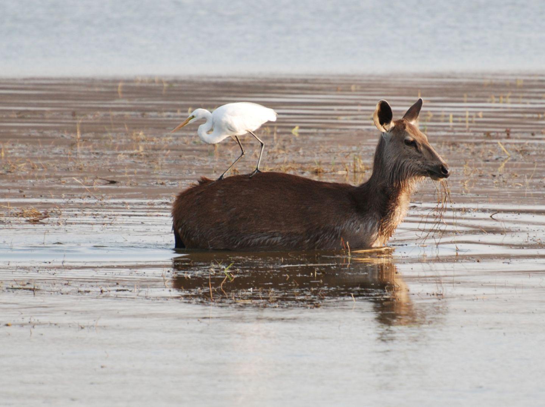 Silberreiher reitet auf Sambar-Hirsch