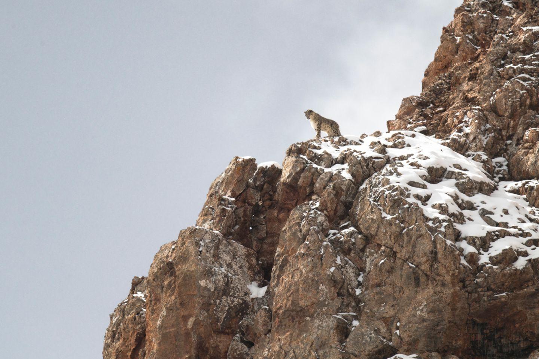 Schneeleoparden blicken, wie Hauskatzen, gern von oben herab