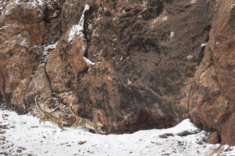Schneeleoparden