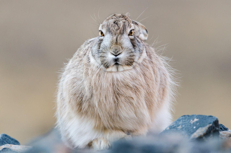 Sie erlegen kleinere Tiere wie Tibetische Wollhasen
