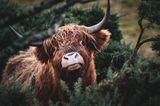 Highland-Kuh in Schottland