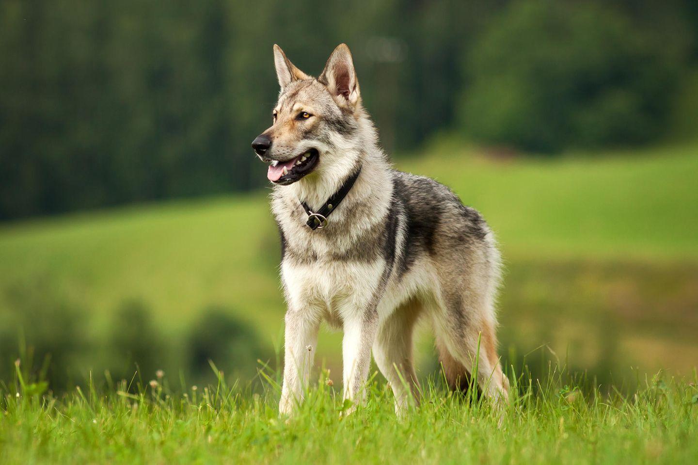 Geschichte des Hundes: Vom Wolf zum Hund