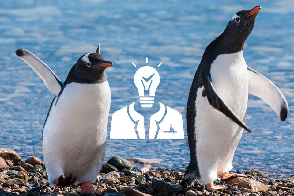 Foto: Foto 4440/Shutterstock, Gentoo Penguin