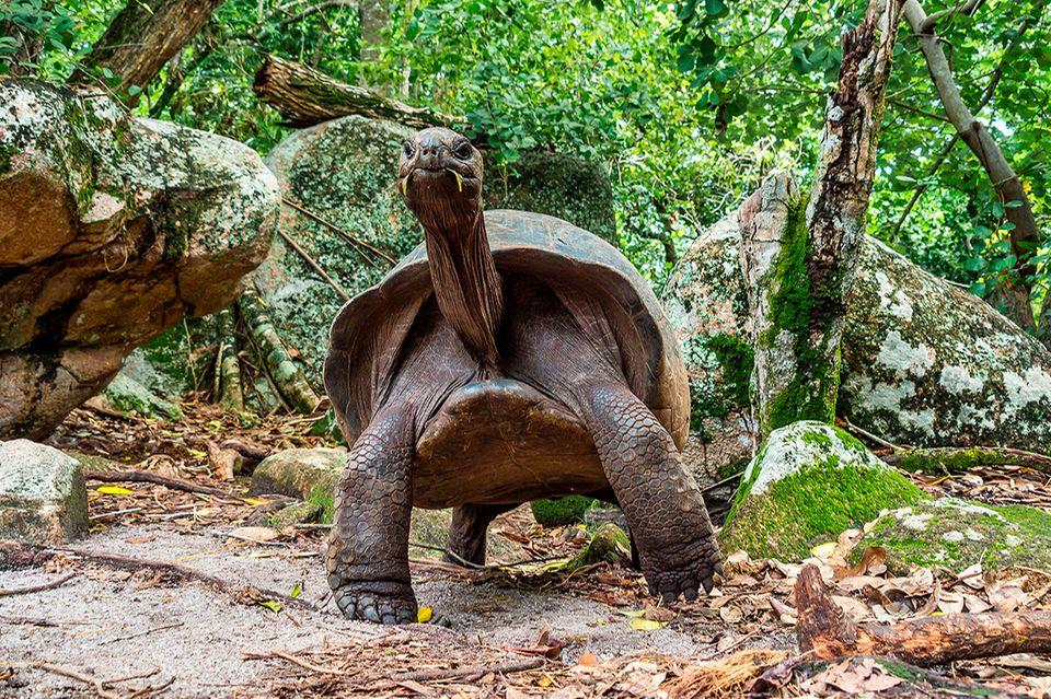 Aldabra, Riesenschildkröte, Curieuse Marine National Park, Curieuse Island, Seychellen
