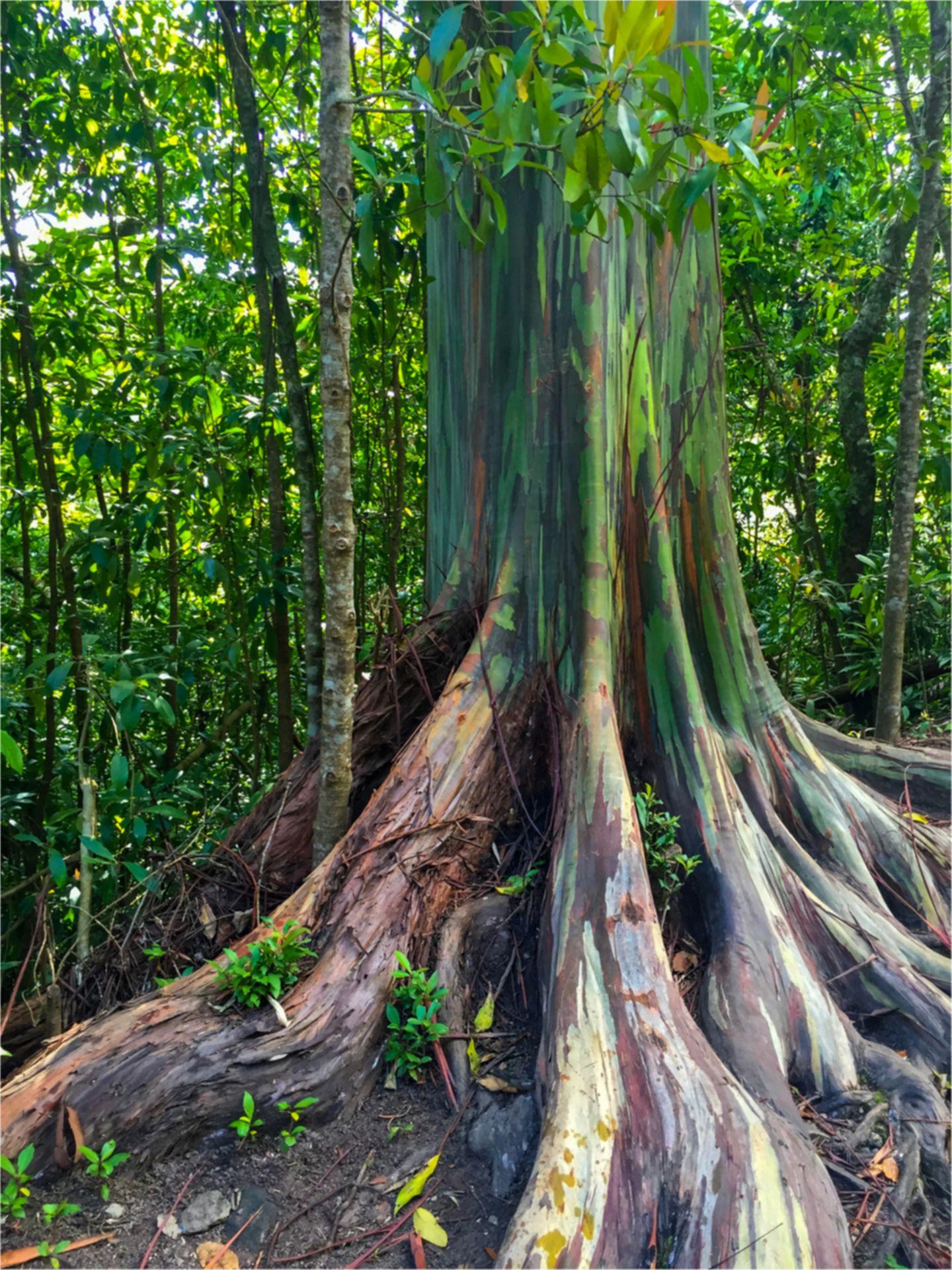 Pflanzen: Rinde wie ein Kunstwerk: Das Geheimnis der Regenbogenbäume - Bild 2