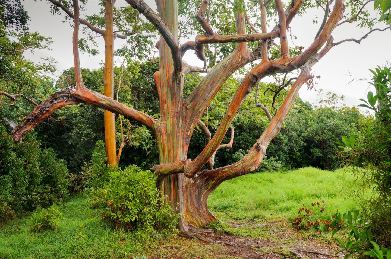 Pflanzen: Rinde wie ein Kunstwerk: Das Geheimnis der Regenbogenbäume - Bild 3