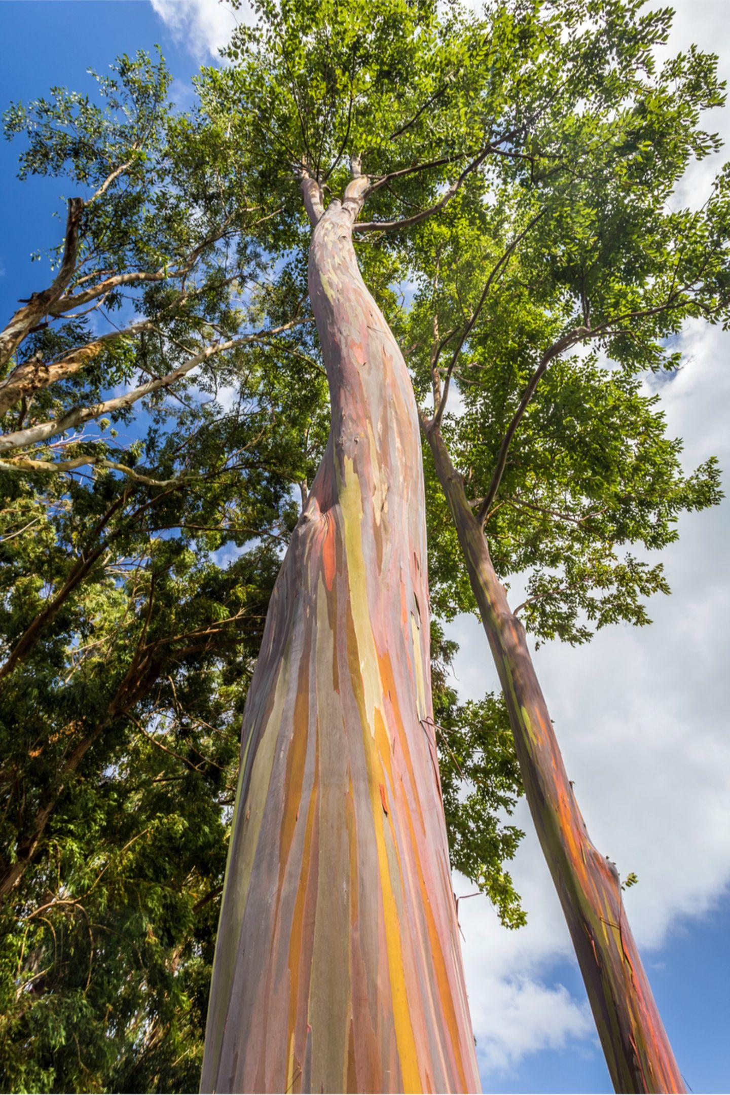 Pflanzen: Rinde wie ein Kunstwerk: Das Geheimnis der Regenbogenbäume - Bild 4