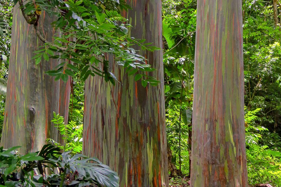 Regenbogenbaum auf Hawaii