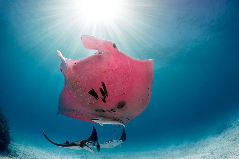 Pinker Mantarochen