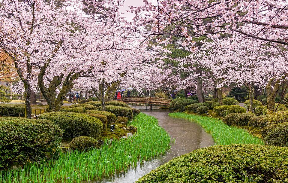 Japanische Kirschblüte in Kanazawa