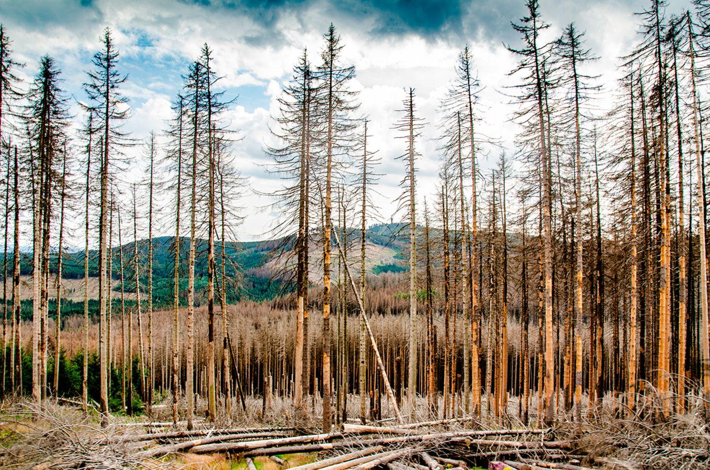 Der Borkenkäfer hinterlässt seine Spuren am Brocken im Harz