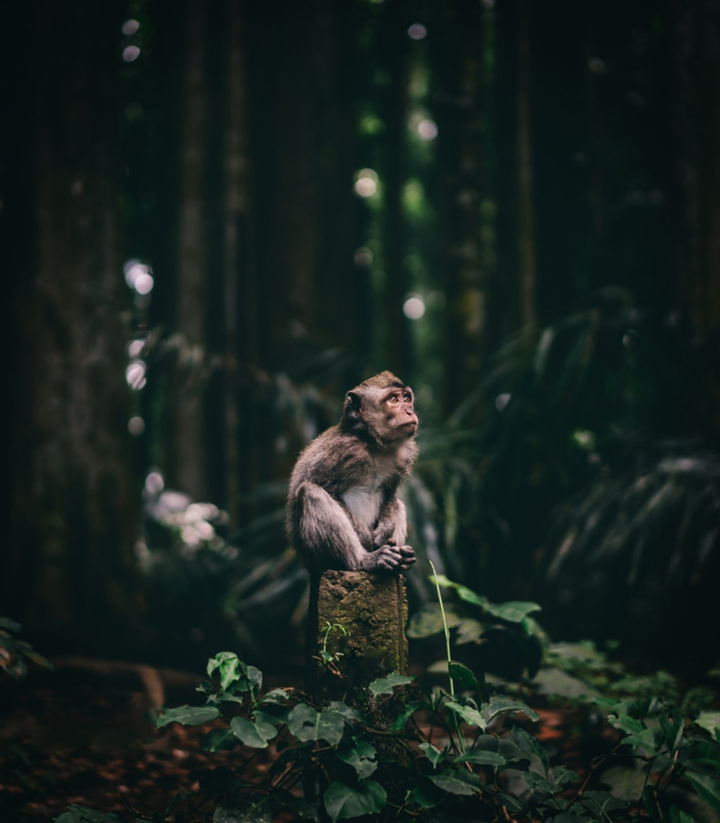 Wondering monkey