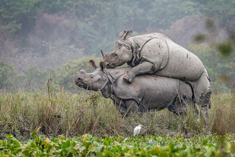 Mating Rhinos