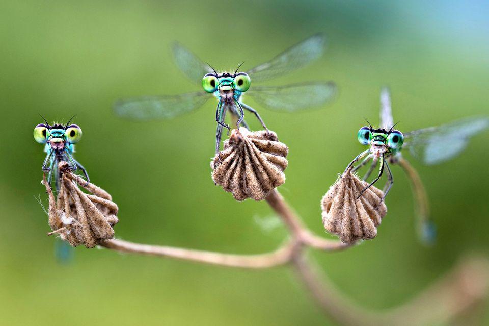 Kleinlibellen