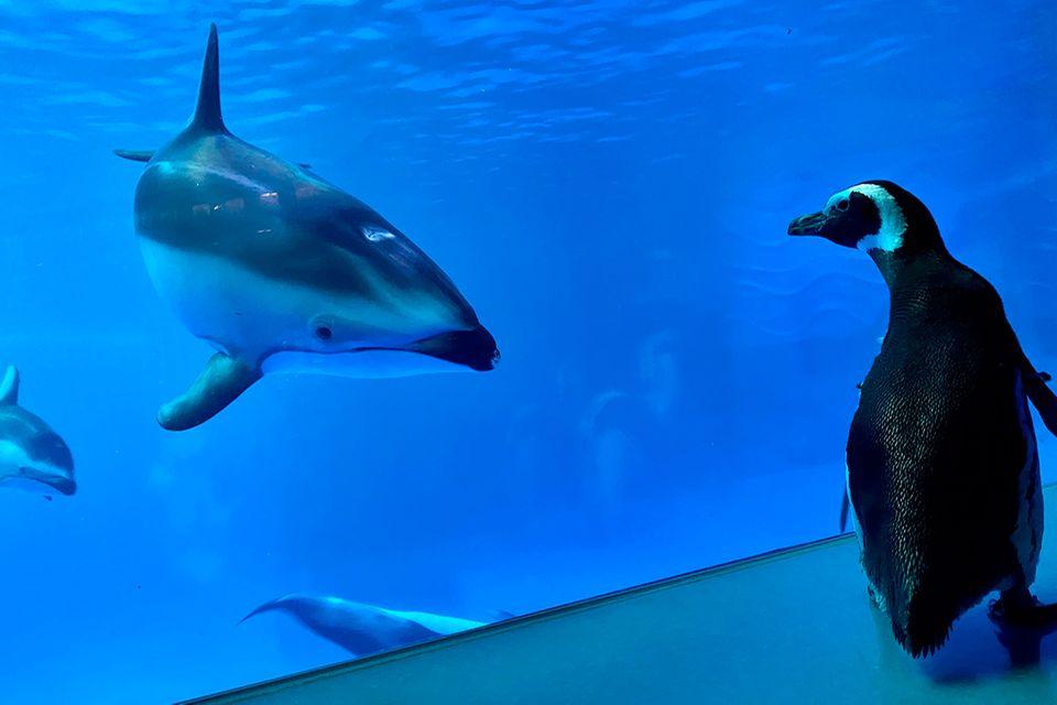 Pinguin im Shedd Aquarium