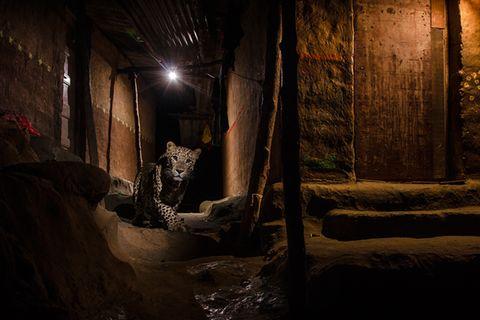 Leopard streift durch Mumbai