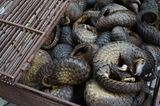 Bedrohte Tierarten: Harte Kerle: Schuppentiere - Bild 6