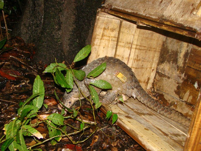 Bedrohte Tierarten: Harte Kerle: Schuppentiere - Bild 2