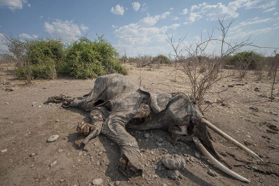 Mysteriöses Massensterben: In den vergangenen drei Jahrzenten ist die Zahl der Elefanten in Botswana von 50.000 auf mehr als 130.000 Tiere angestiegen, so hob das Land im vergangenen Jahr sogar das Jagdverbot auf. Das unerklärliche Massensterben stellt die Naturschützer vor Rätsel, dürfen die Tiere doch wie dieser Elefant im Chobe Nationalpark ihre Stoßzähne behalten - was Wilderei quasi ausschließt (Symbolbild)