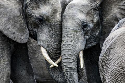 Zwei Elefanten