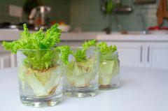 Nachwachsender Salatstrunk im Wasserglas