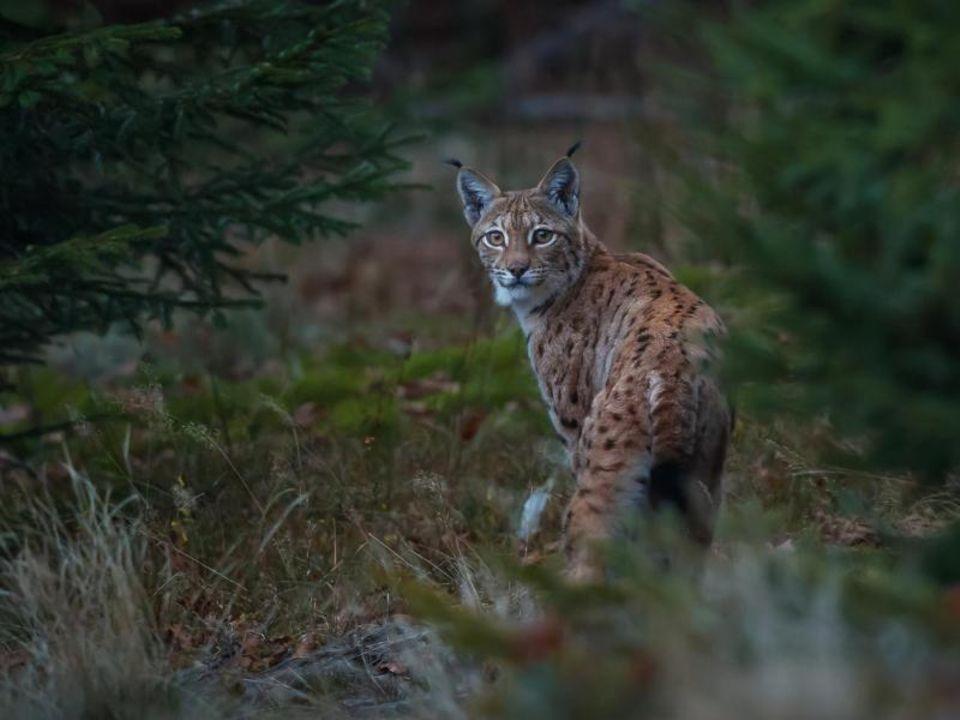 Bayerischer Wald: Auch Luchse gibt es im Nationalpark Bayerischer Wald zu entdecken - allerdings zeigen sie sich nur selten
