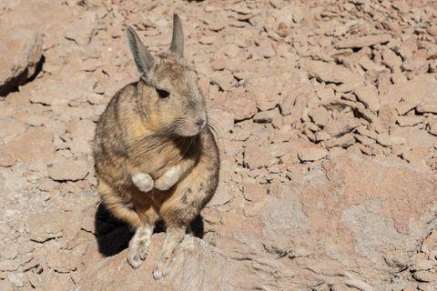 Cuvier-Hasenmaus auf braunem Fels
