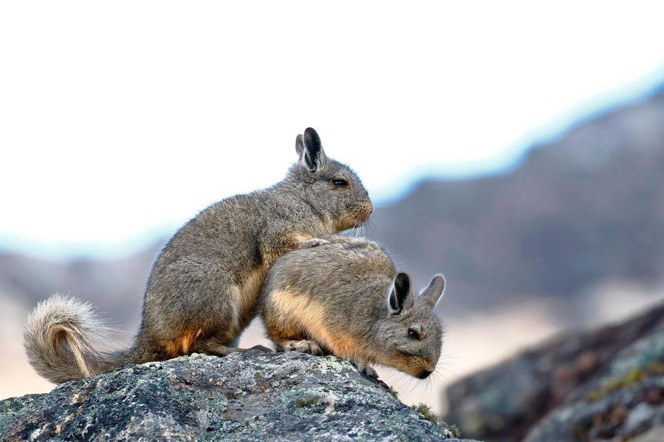 Zwei Cuvier-Hasenmäuse auf einem Fels