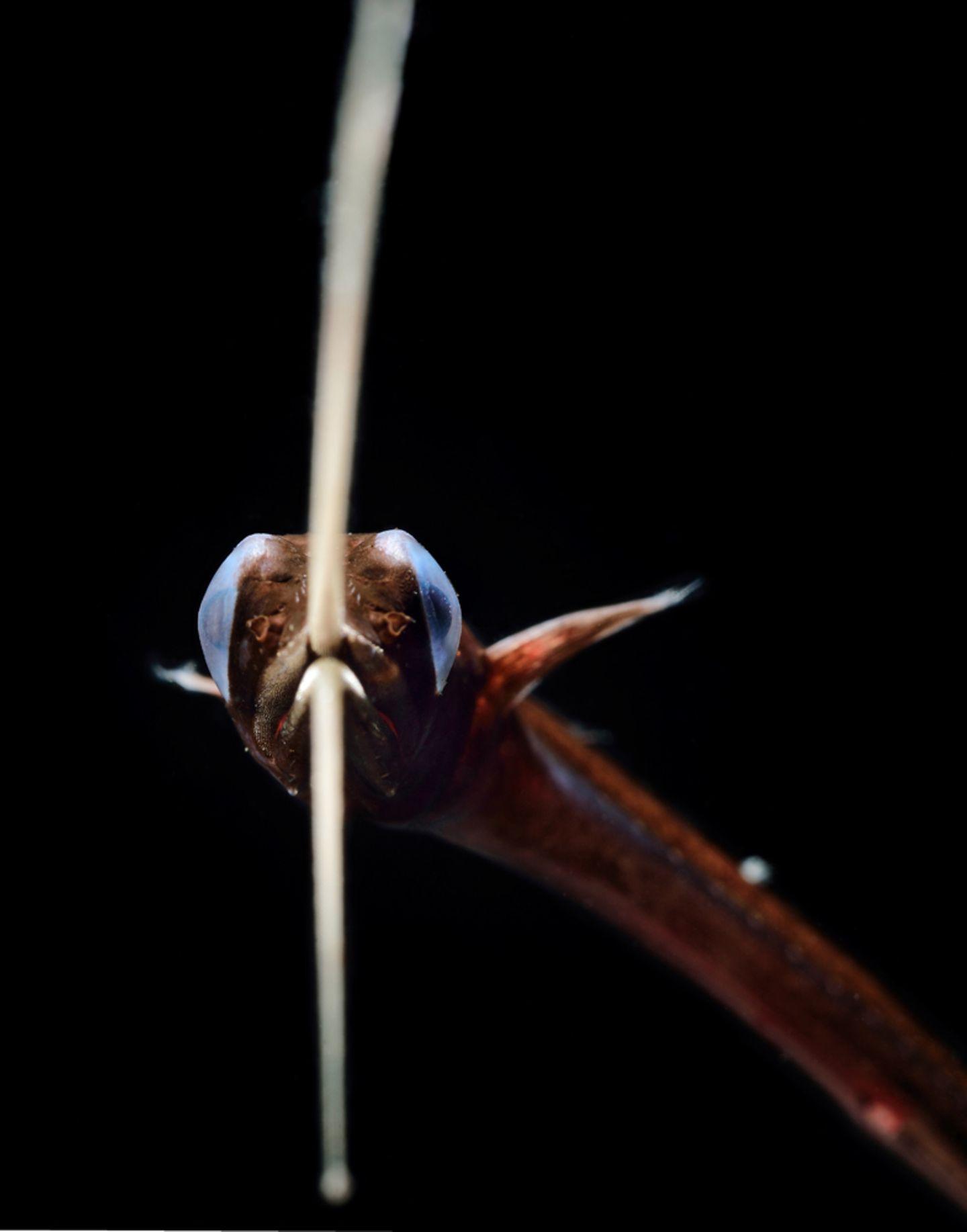 Schnepfenaal