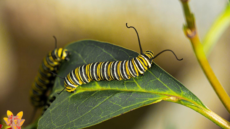 Raupe des Monarchs