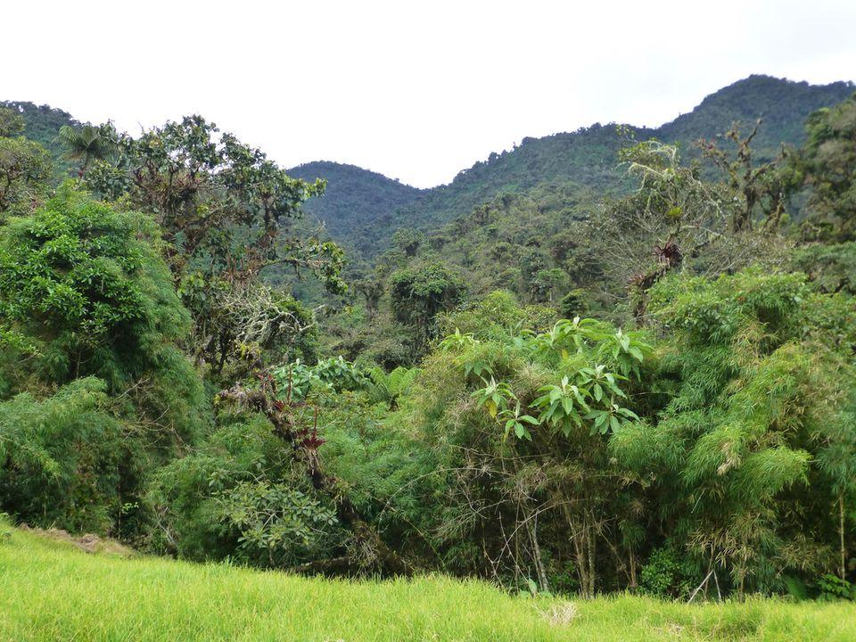 Ecuador: Viehweide trifft auf Regenwald: Im Projekt werden auch kleine Lücken im Wald, meist ehemalige Viehweiden, geschlossen