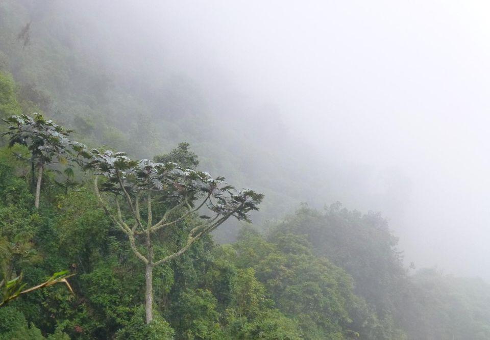 """Ecuador: Unter unzähligen Baumarten im Bergnebelwald von Intag, sticht der """"Guarumbo"""" durch seine Kronenform und große, silbrige Blätter ins Auge. Seine Frucht ist eine lange süße Schote, die von Vögeln und anderen Tieren geliebt wird"""