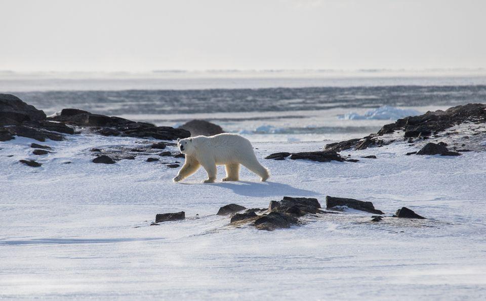 Eisbär bei Svalbard