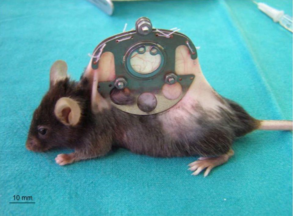 Maus im Tierversuch