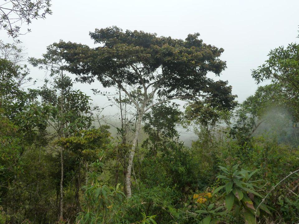 """Ecuador: Der Guaba (Inga Edulis) ist ein immergrüner Baum mit ausladender Baumkrone. Die Pulpe, in denen die Bohnen liegen, wird direkt aus den Hülsenfrüchten heraus gegessen oder es wird zu süßen Nachspeisen verarbeitet, daher auch der Name """"ice-cream bean"""". Pflanzungen der Bäume verbessern die Bodenqualität und verhindern Erosion."""