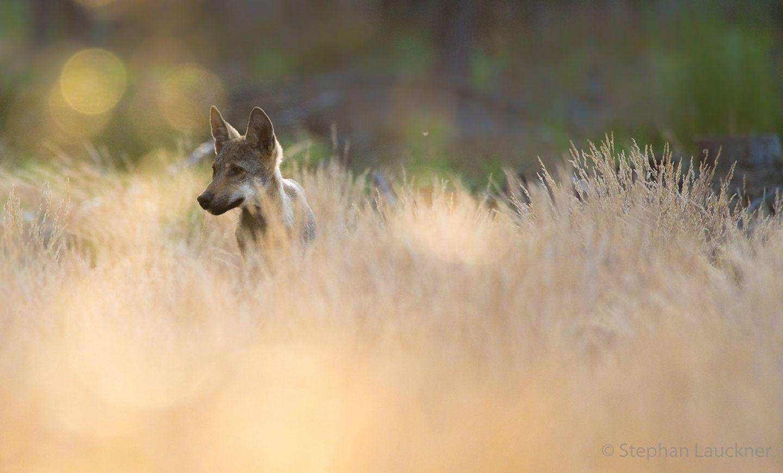 Wolfswelpe aus Sachsen