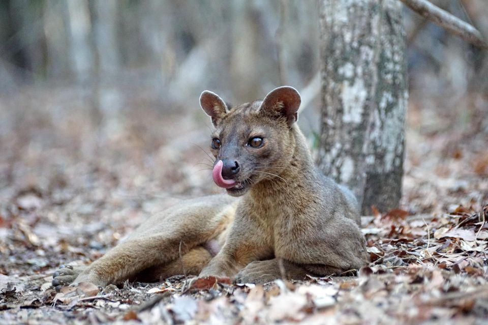 Tiere: Perfekte Tarnung: Mit ihrem kurzen, rotbraunen Fell sind Fossas im Unterholz der Wälder Madagaskars kaum auszumachen