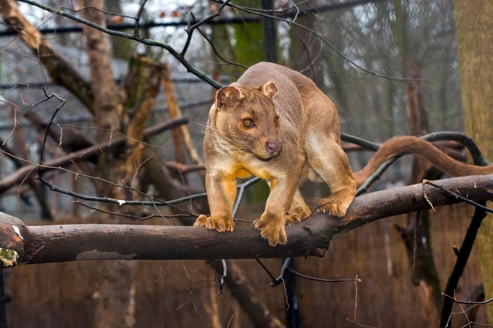 Tiere: Starkes Stück: Der bis zu 70 Zentimeter lange Schwanz hilft Fosas beim Klettern und Balancieren in den Bäumen