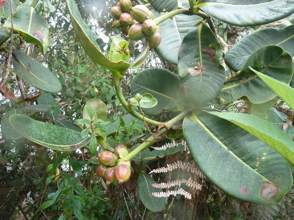 Ecuador: Der Einsatz von Guandero ist nützlich, um beschädigte Gebiete im Nebelwald wieder zu heimischen Lebensräumen zu verhelfen