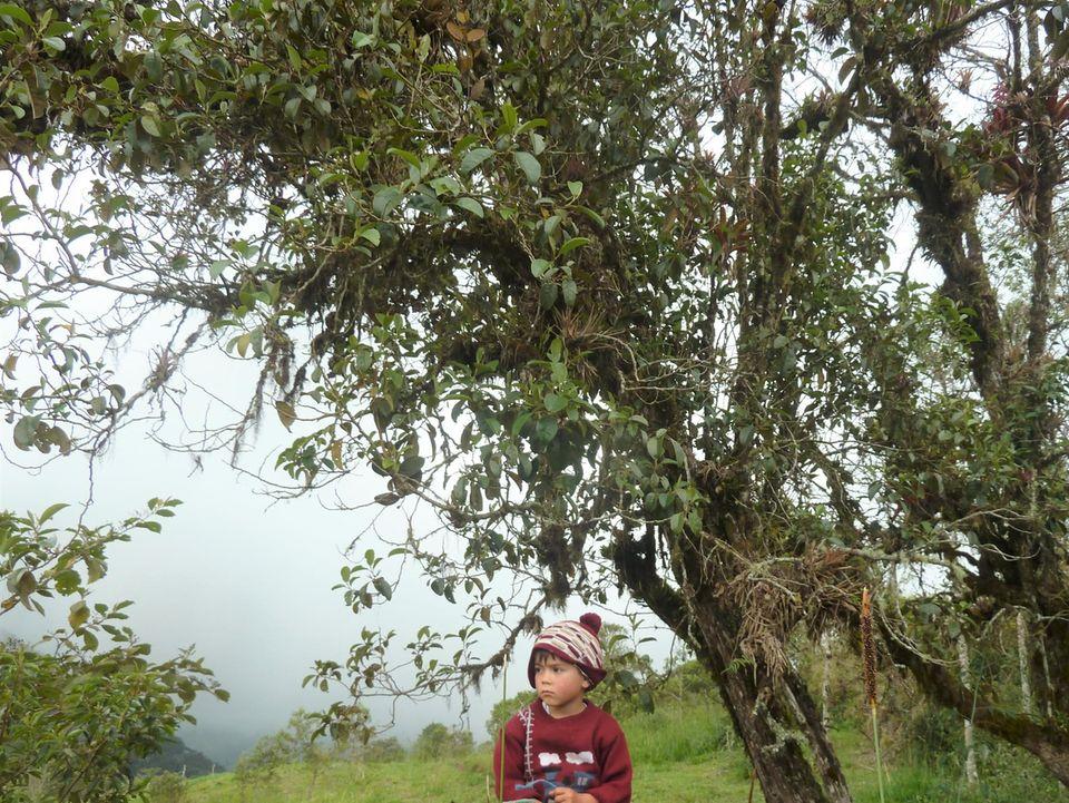 Ecuador: Der so genannte Motilón hat Früchte, die an eine kleine Pflaume erinnern. Sie sind reich an Anthocyanen (antioxidative Substanzen), färben Lippen und Hände purpurrot und sind sehr beliebt bei Vögeln und anderen Waldbewohnern
