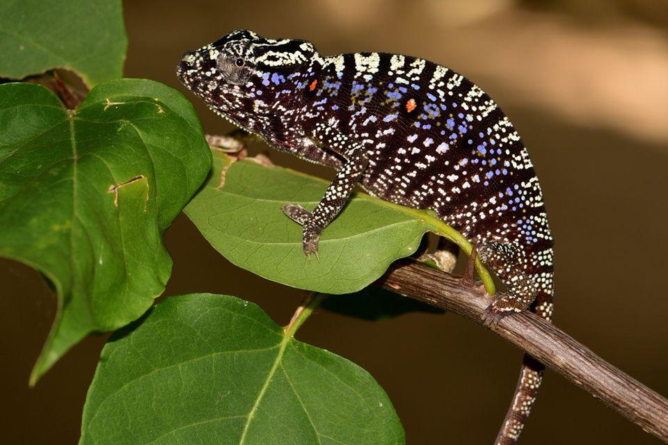 Weibchen des Voeltzkow-Chamäleons